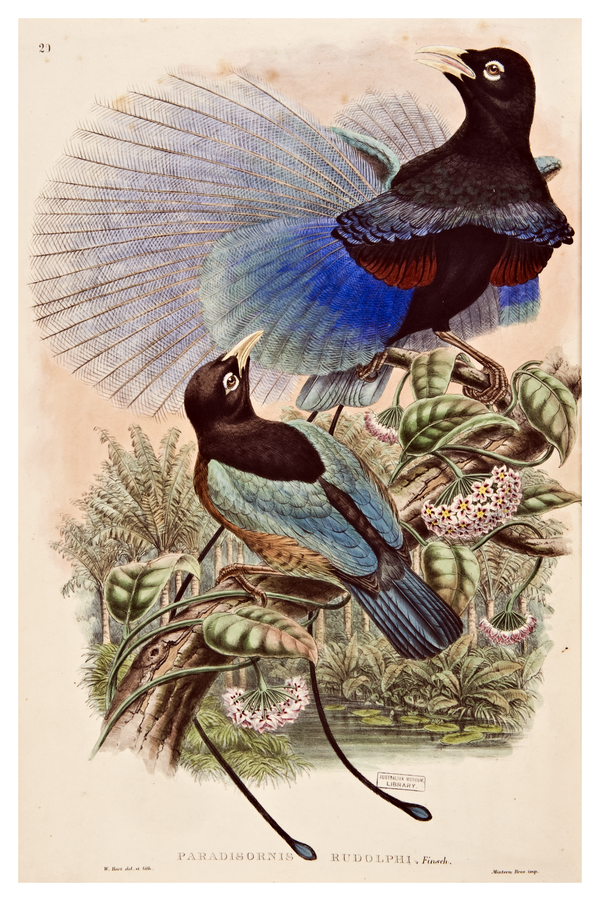 Monograph of the Paradiseidae or Birds of Paradise and Ptilonorhynchidae or Bower-birds / by R. Bowdler Sharpe.