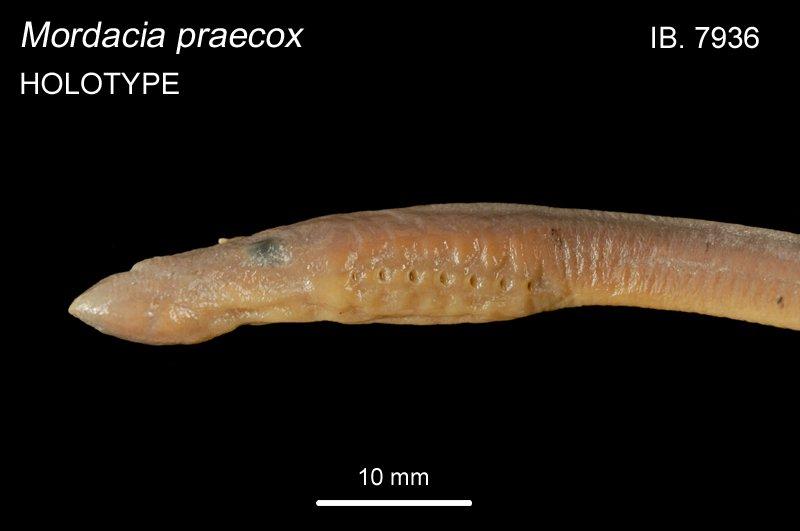 Mordacia praecox head IB.7936