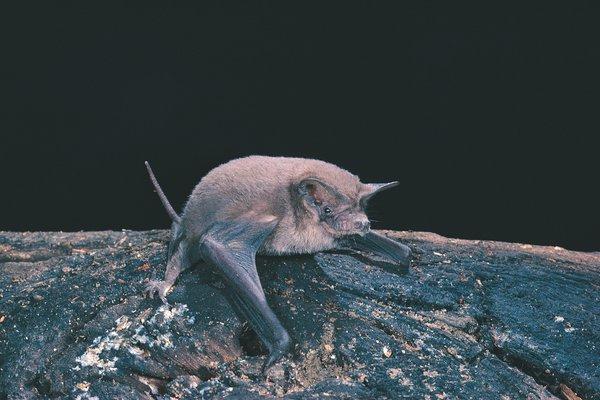Mormopterus loriae