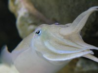 Mourning Cuttlefish Up Close