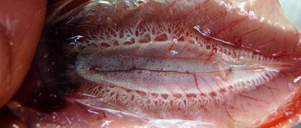Mulloway, Argyrosomus japonicus