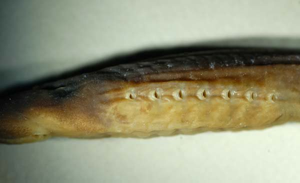 Non-parasitic Lamprey