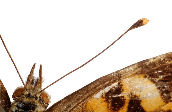 Antenna of an Australian painted lady butterfly
