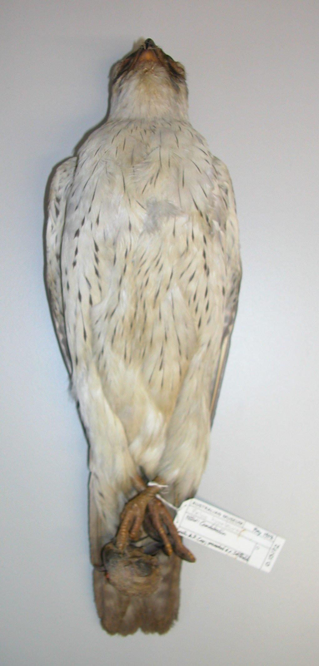 O.13172 Falco hypoleucos and skull of Barnardius zonarius barnardi