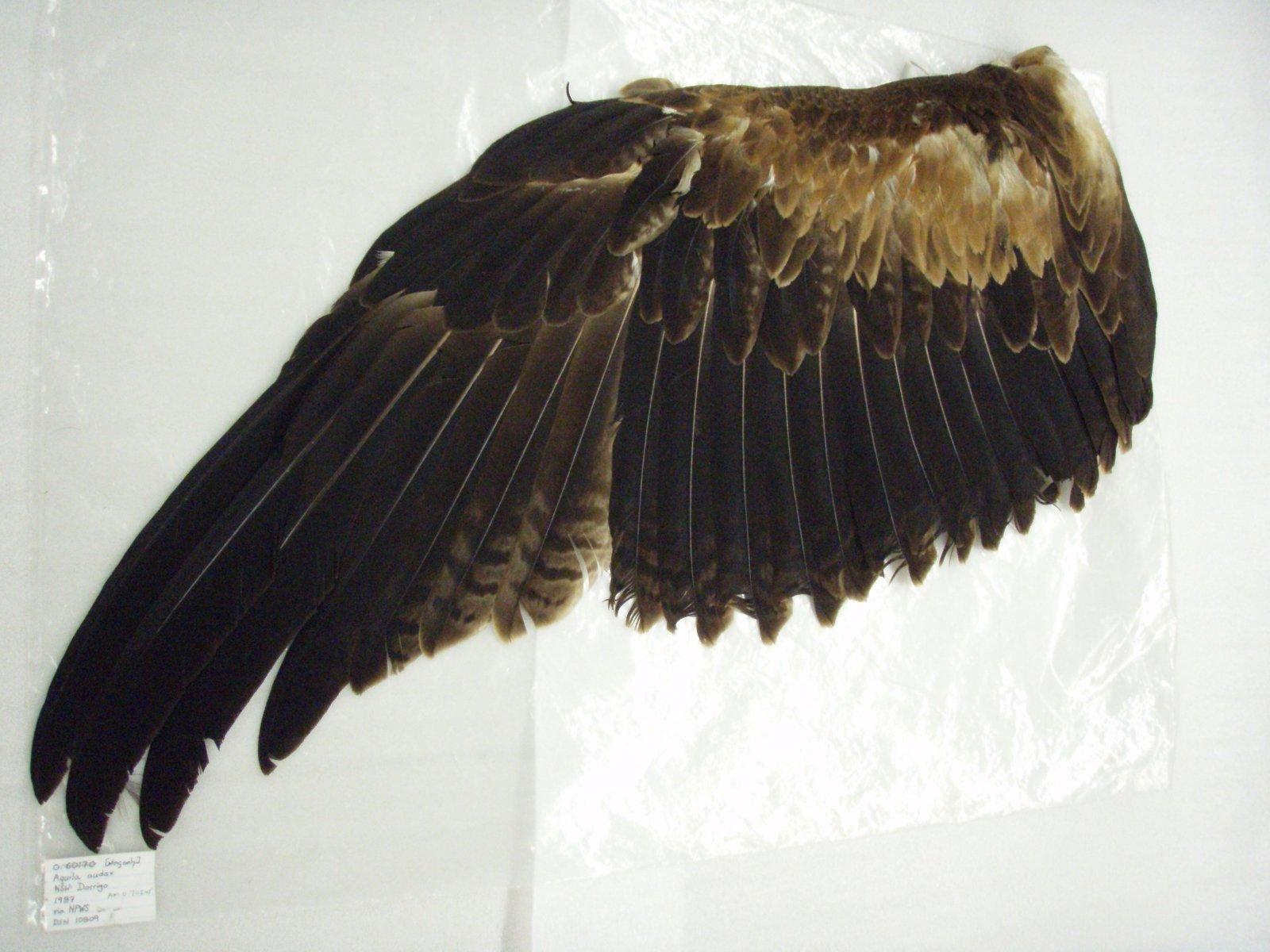 O.70245 Aquila audax wing