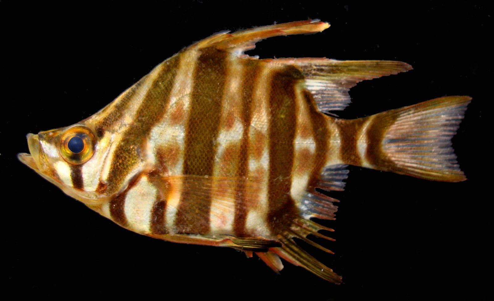 Old Wife, Enoplosus armatus