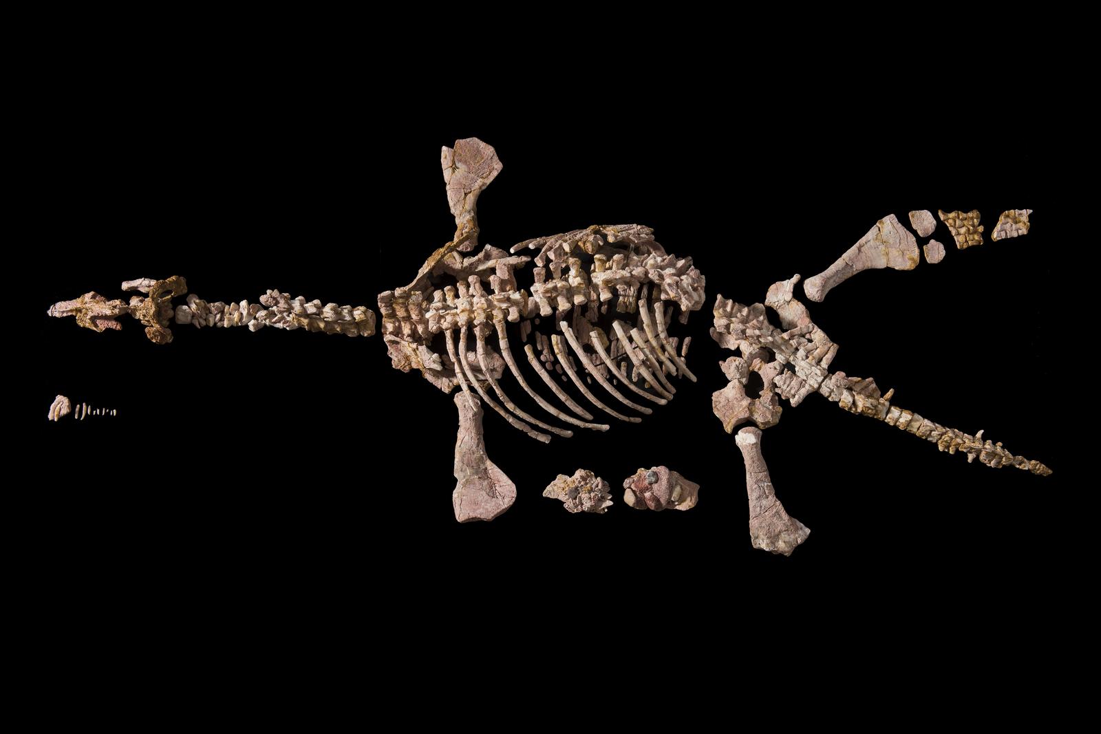 Opalised Pliosaur Umoonasaurus demoscyllus - Eric the Pliosaur