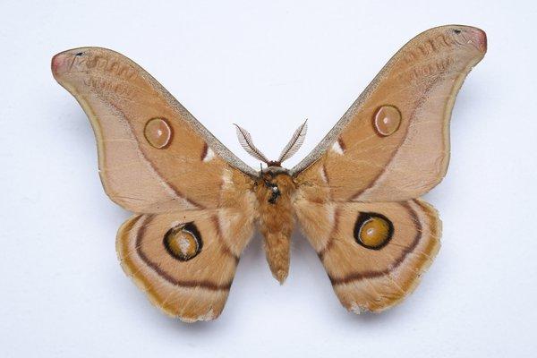 Opodiphthera eucalypti (Scott)