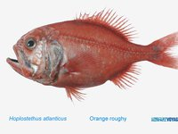 Orange Roughy, <i>Hoplostethus atlanticus</i>