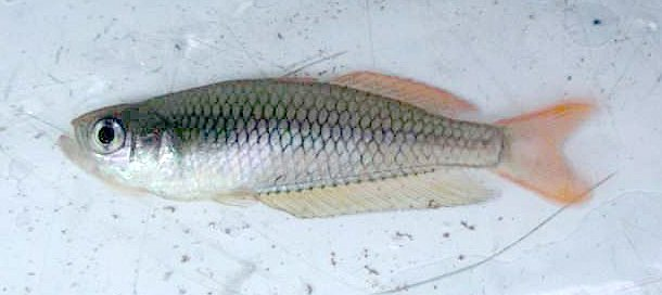 Ornate Rainbowfish, <i>Rhadinocentrus ornatus<i>
