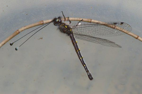 Owlfly (Ascalaphidae)