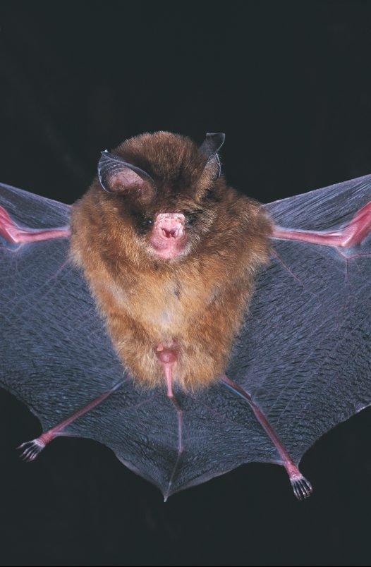 Fawn Leaf-nosed Bat