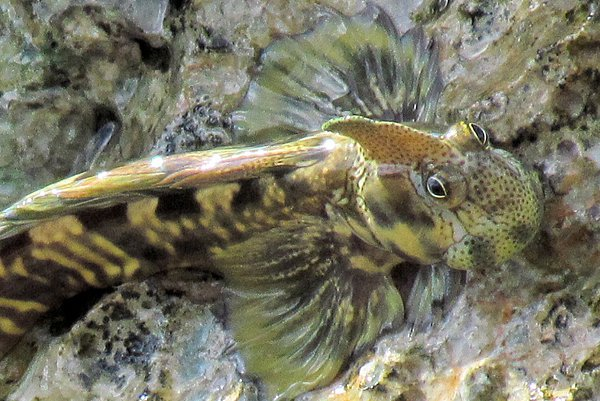 Pacific Leaping Blenny, Alticus arnoldorum
