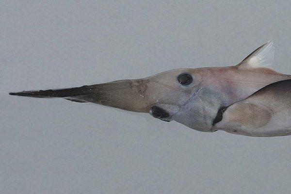 Pacific Spookfish, <i>Rhinochimaera pacifica</i>