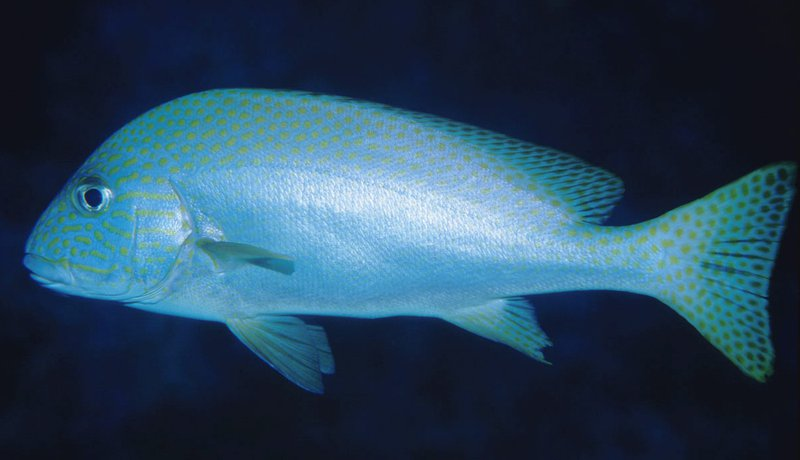 Painted Sweetlips, Diagramma pictum