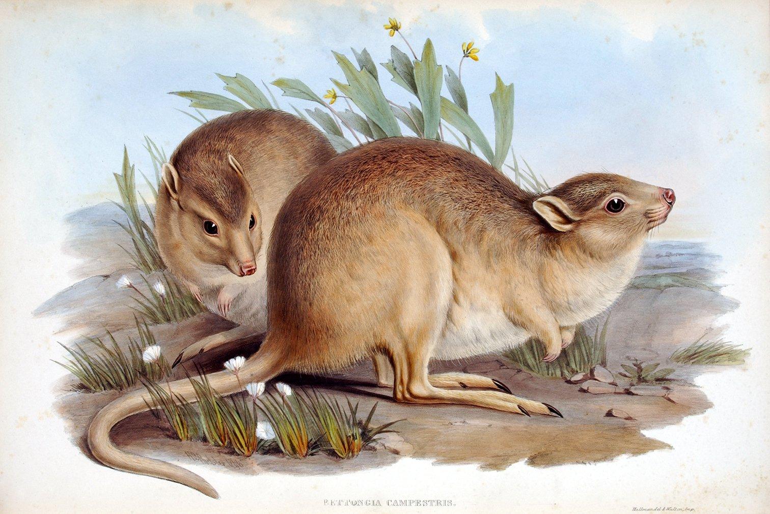 Painting of desert rat kangaroos from John Gould's Mammals of Australia