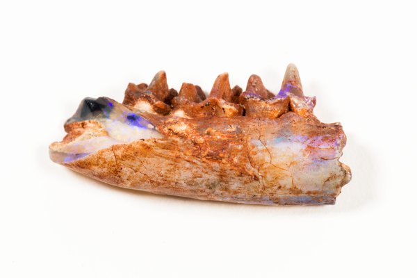 Steropodon galmani