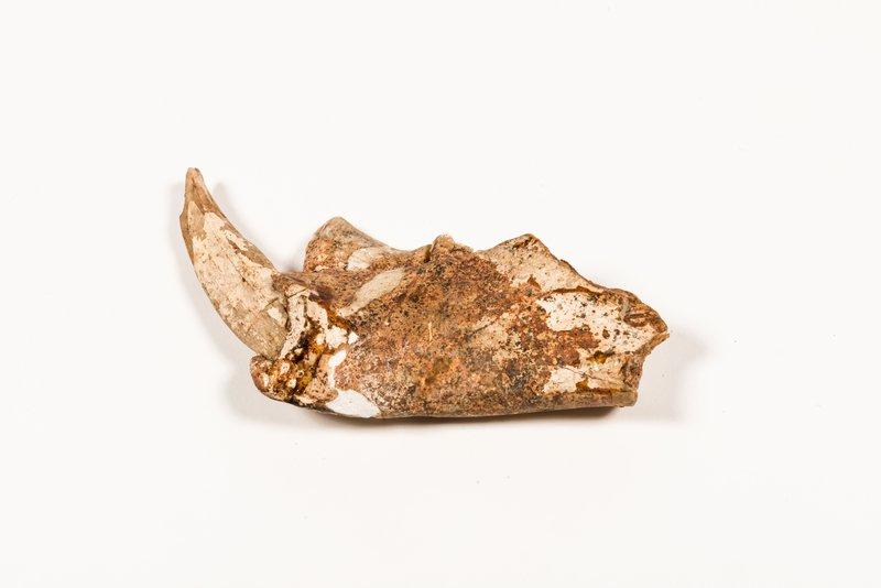 Thylacoleo carnifex