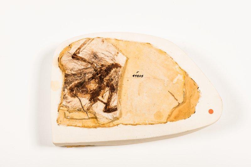 Quipollornis koniberi fossil