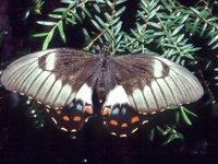 Papilio aegeus aegeus