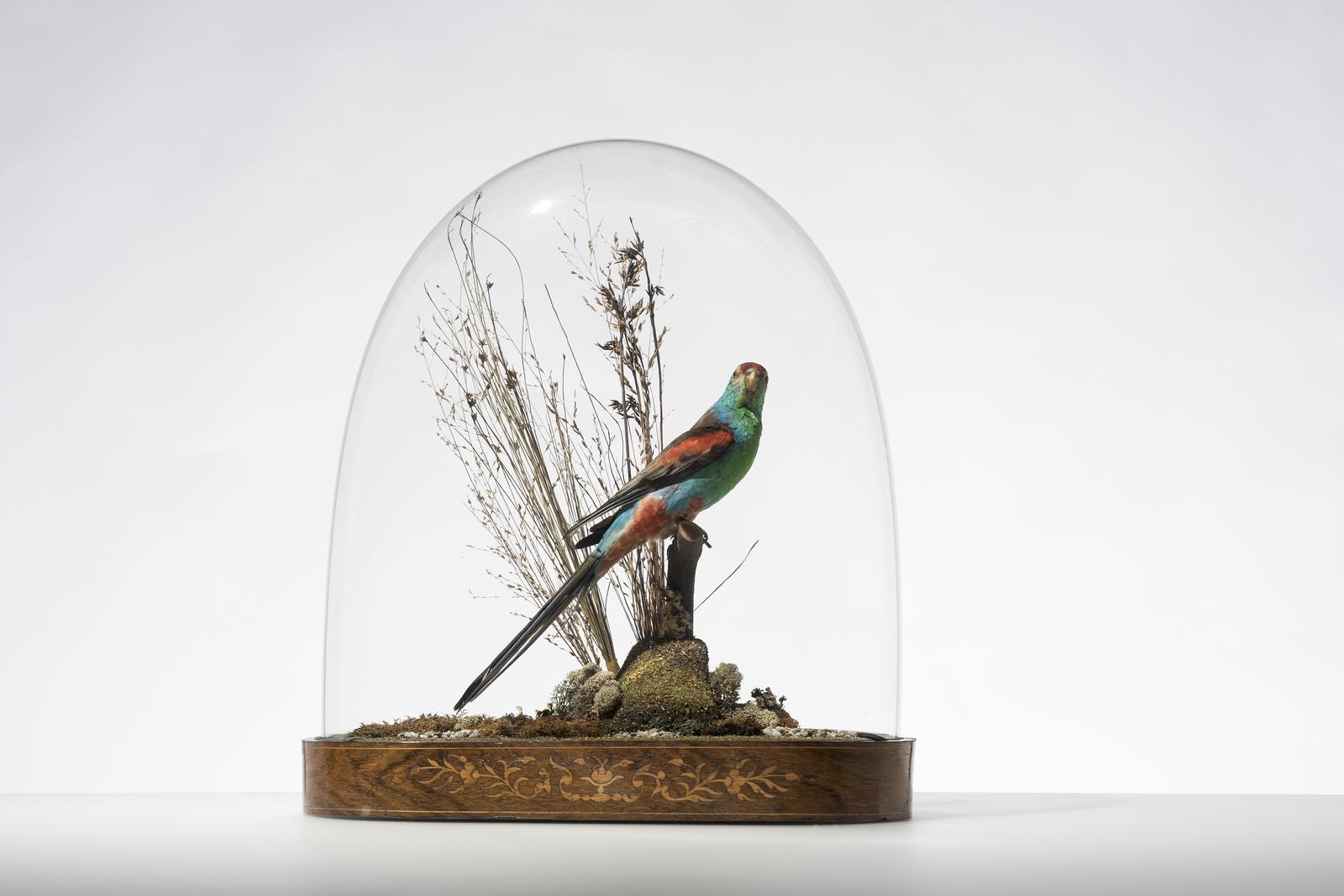 Paradise Parrot Psephotellus pulcherrimus