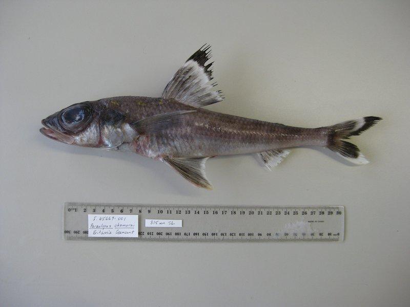 <i>Paraulopus okamurai </i>