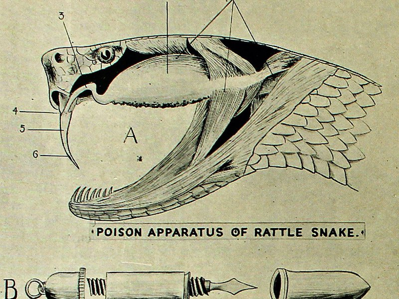 Part of diagram titled 'Poison Apparatus of Rattle Snake'