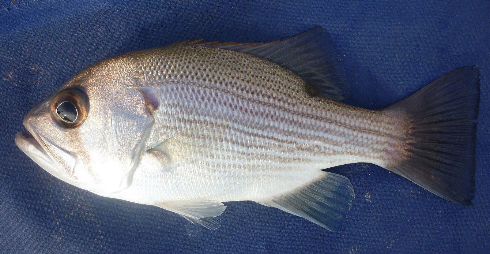Pearl Perch, Glaucosoma scapulare