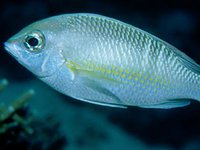 Pearly Monocle Bream, <i>Scolopsis margaritifera</i>
