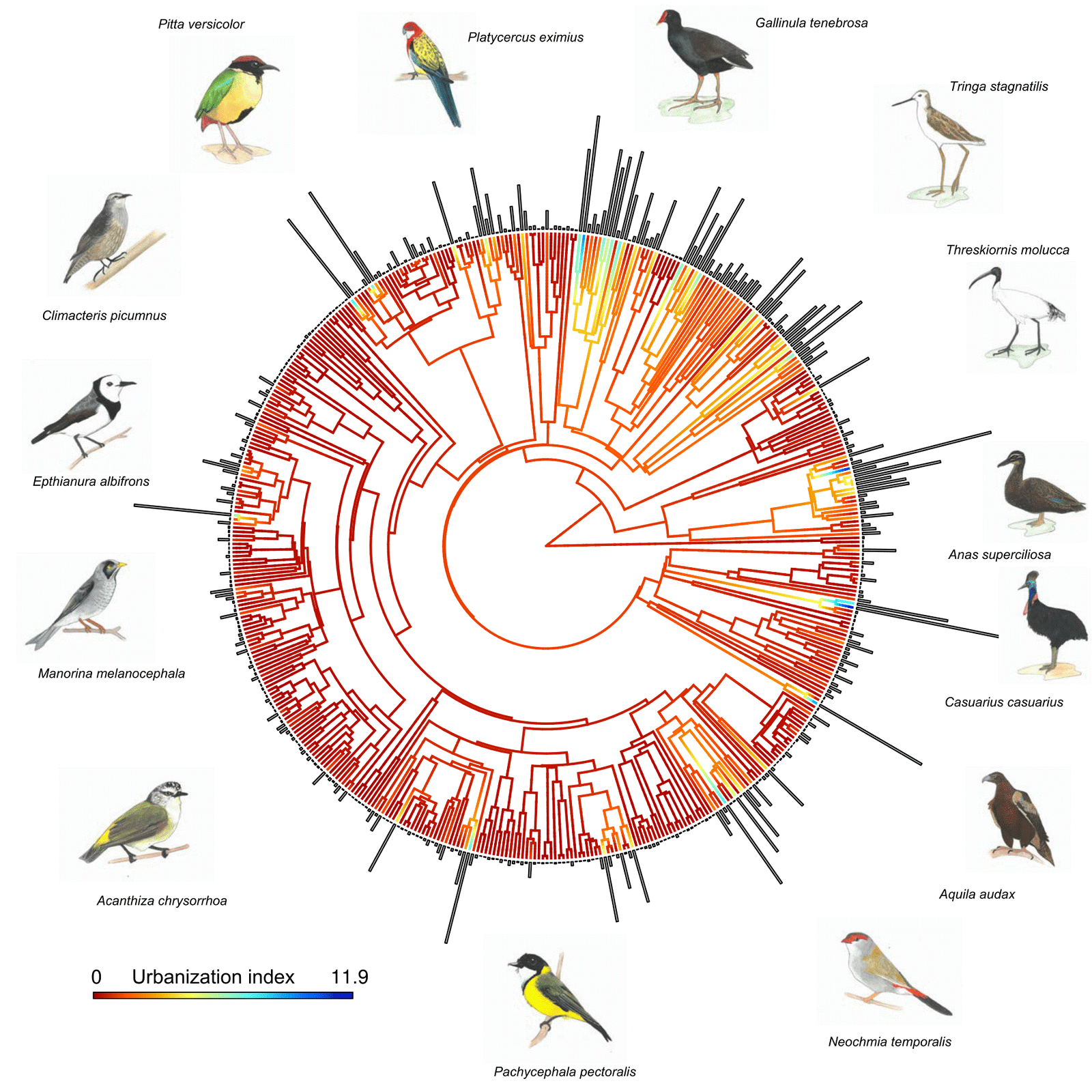 The phylogenetic tree, showing the urbanization score for 477 species in Australia