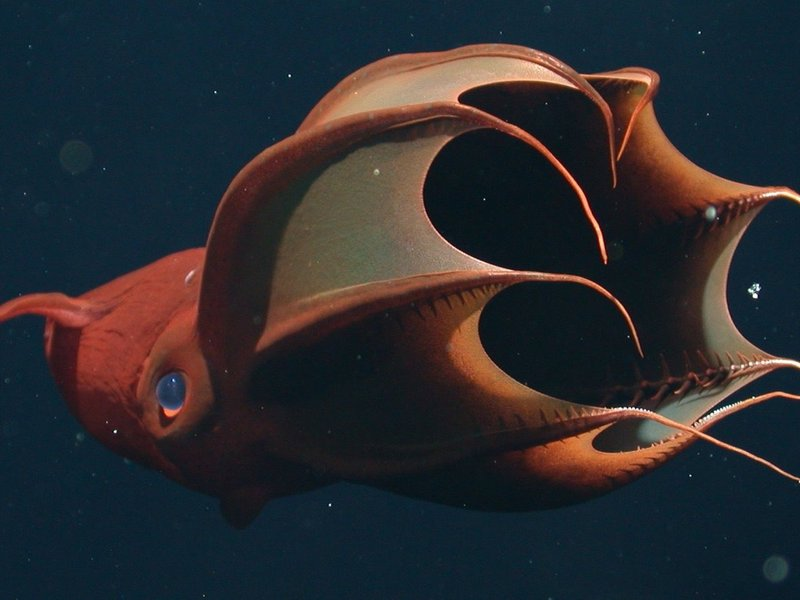 Live Vampire Squid photographed in Monterey Bay