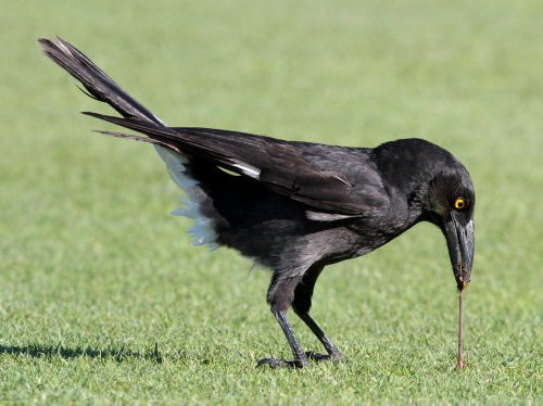 Pied Burrawong eating worm