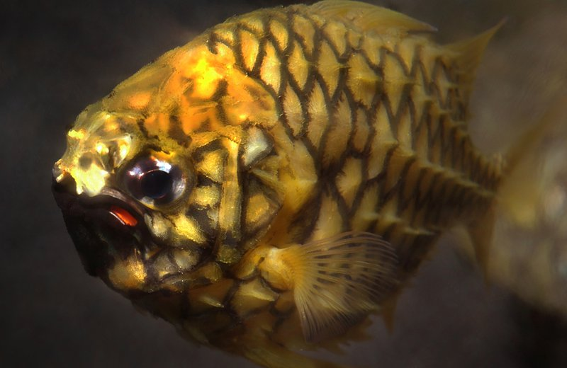 Pineapplefish, Cleidopus gloriamaris