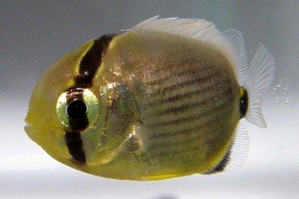 Pinstripe Butterflyfish, Chaetodon lunulatus