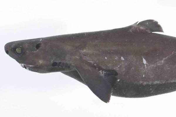 Plunket's Dogfish, <i>Centroscymnus plunketi </i>