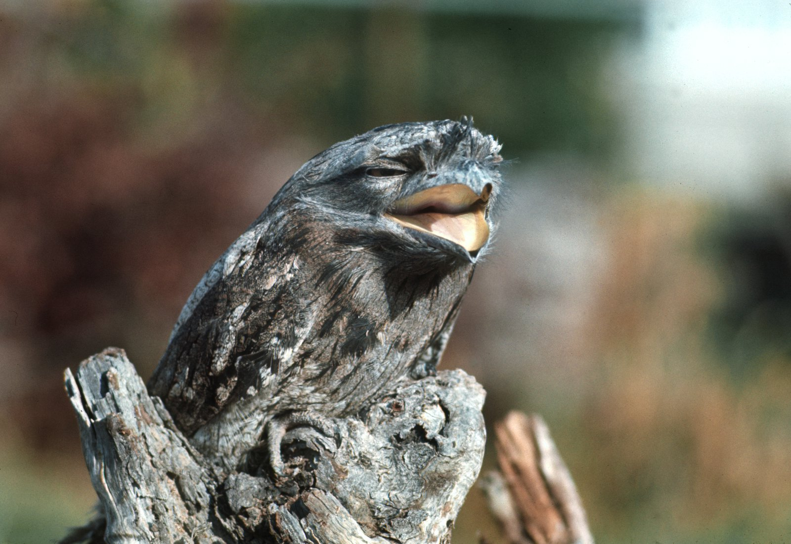 Tawny Frogmouth - The Australian Museum