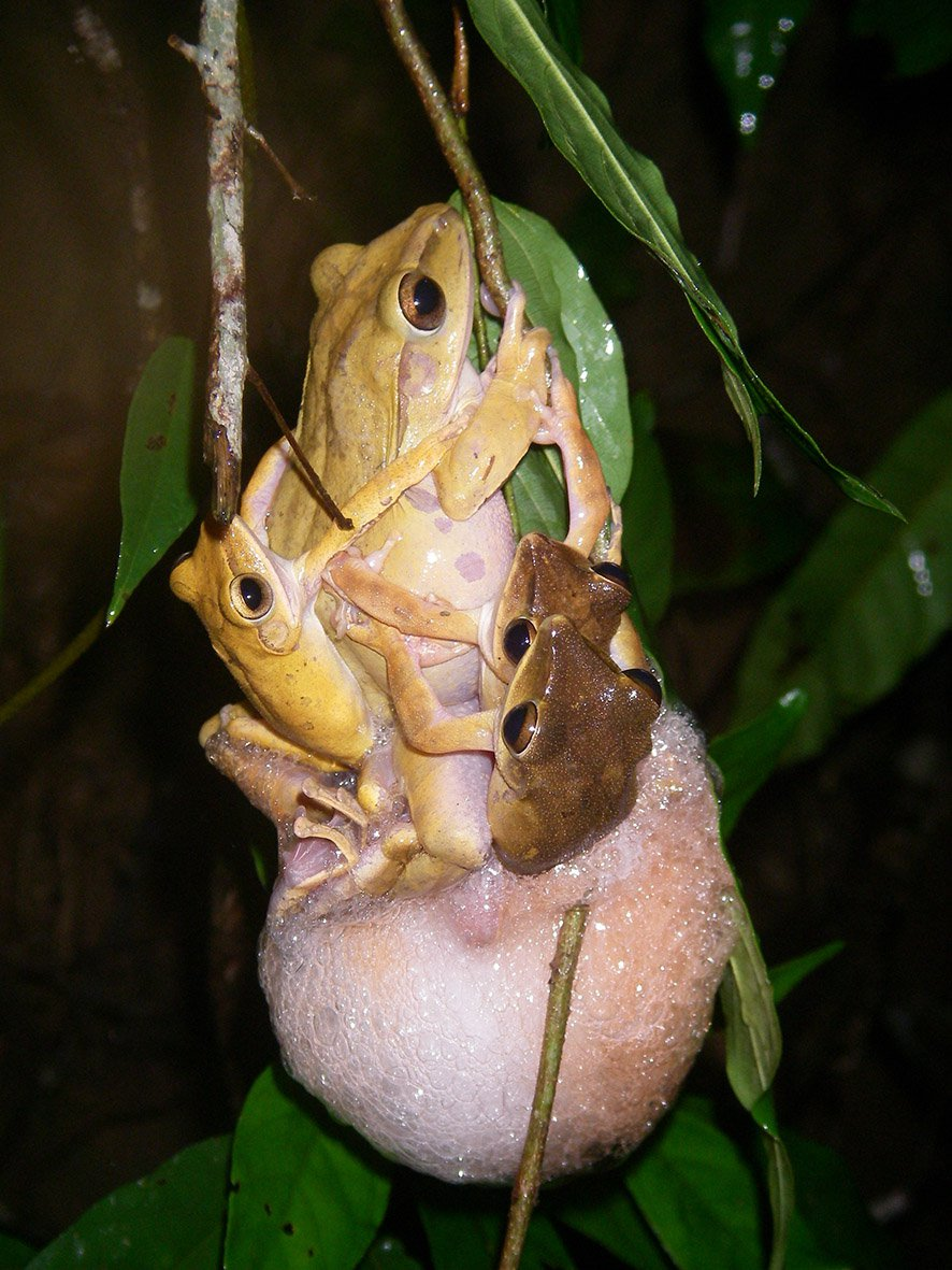 Mating Asian Treefrogs