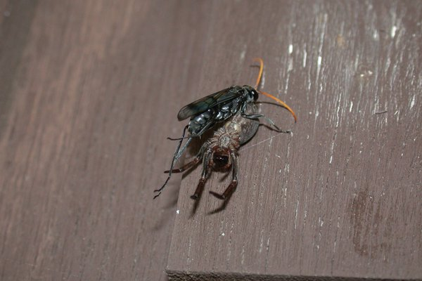 Pompilidae, Spider wasp