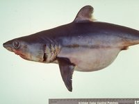 Porbeagle, <i>Lamna nasus</i>The stomach is swollen due to consumption of eggs while still in the body of the adult female.