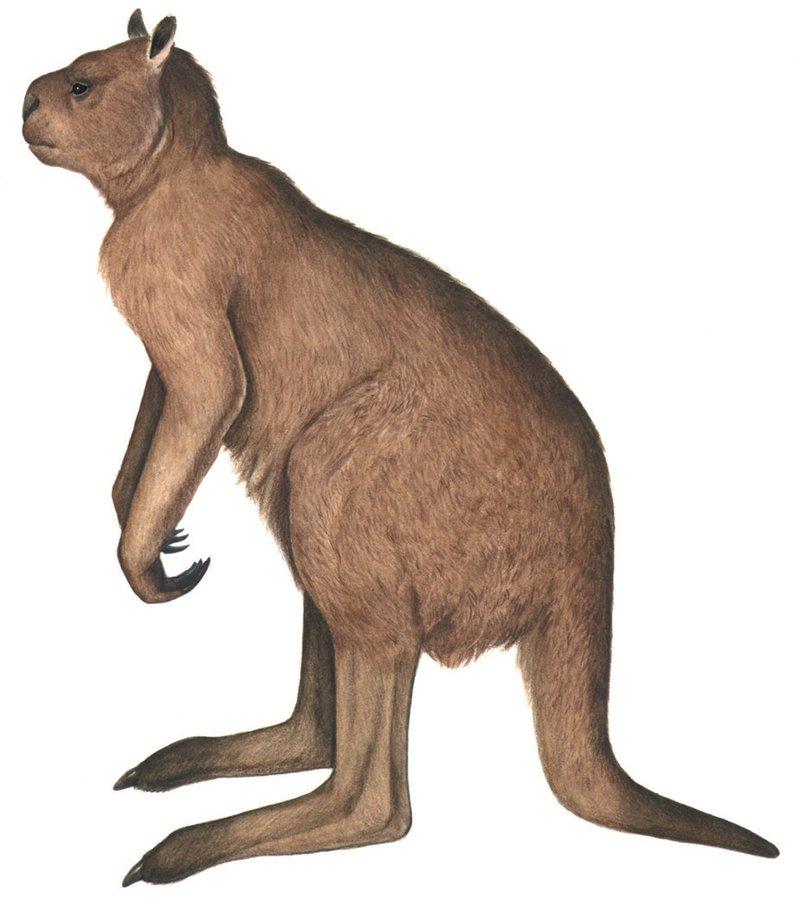 Procoptodon goliah