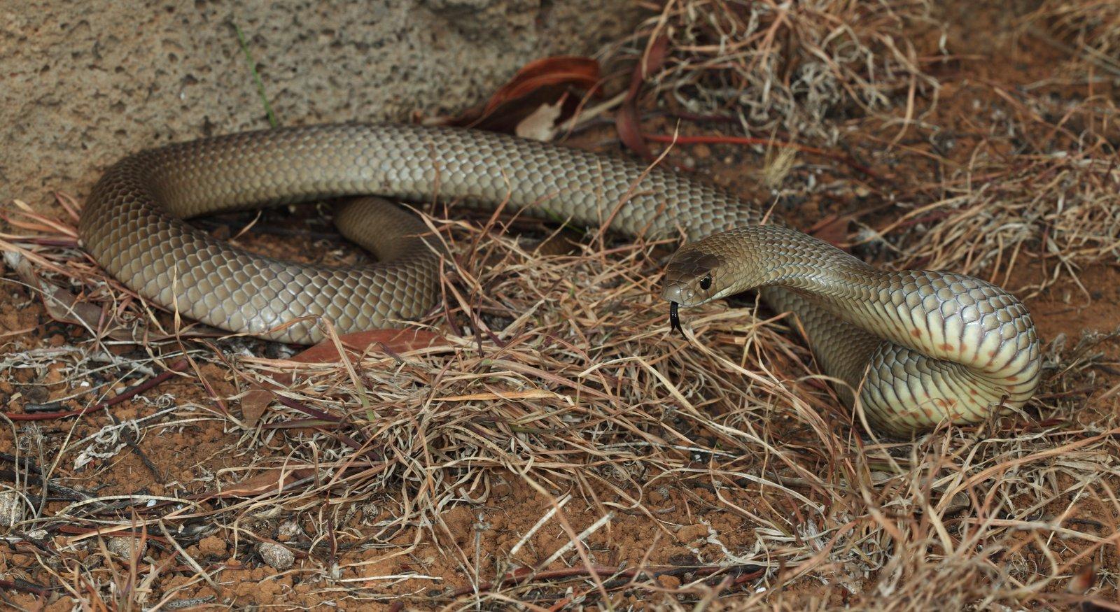 Eastern Brown Snake - The Australian Museum