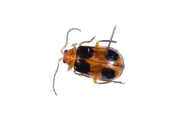 Pumpkin Beetle