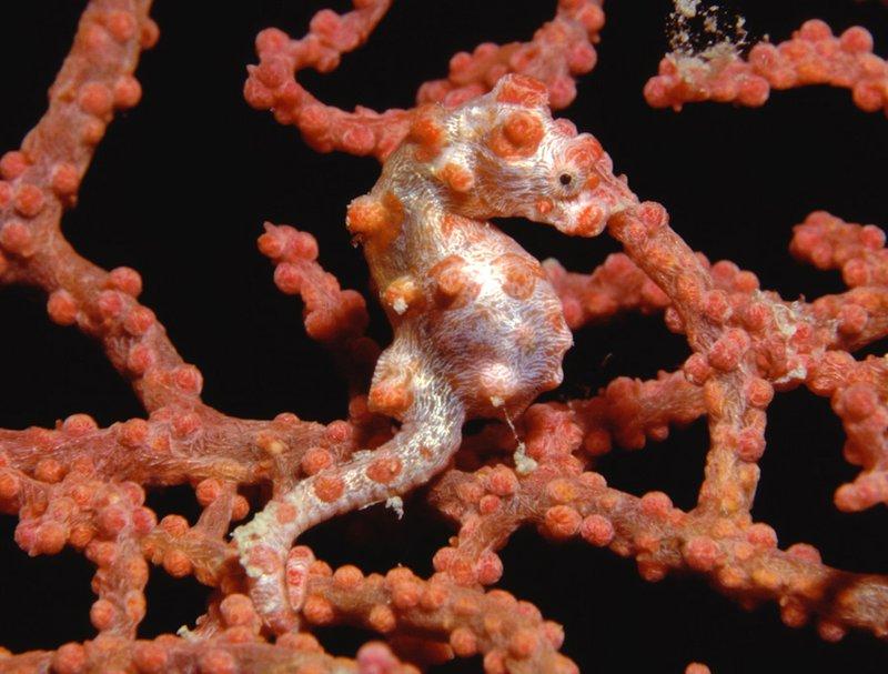 Pygmy Seahorse, <i>Hippocampus bargibanti</i>