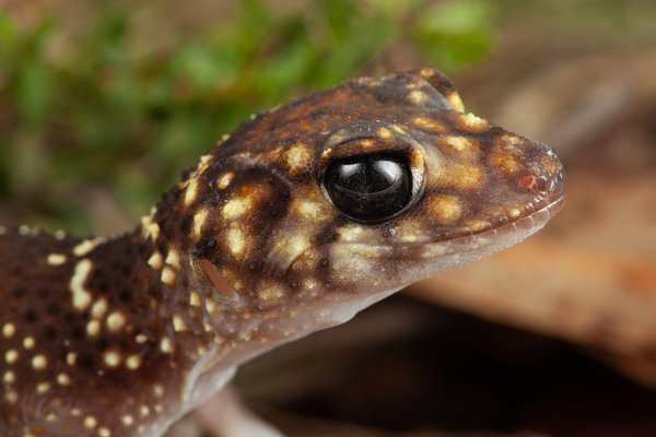 R.185866 Thick-tailed Gecko (Underwoodisaurus milii)
