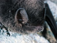 Large Bent-wing Bat