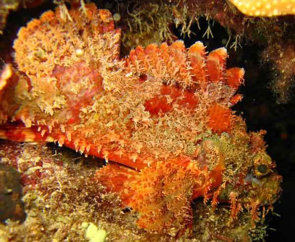 Raggy Scorpionfish, <i>Scorpaenopsis venosa</i>