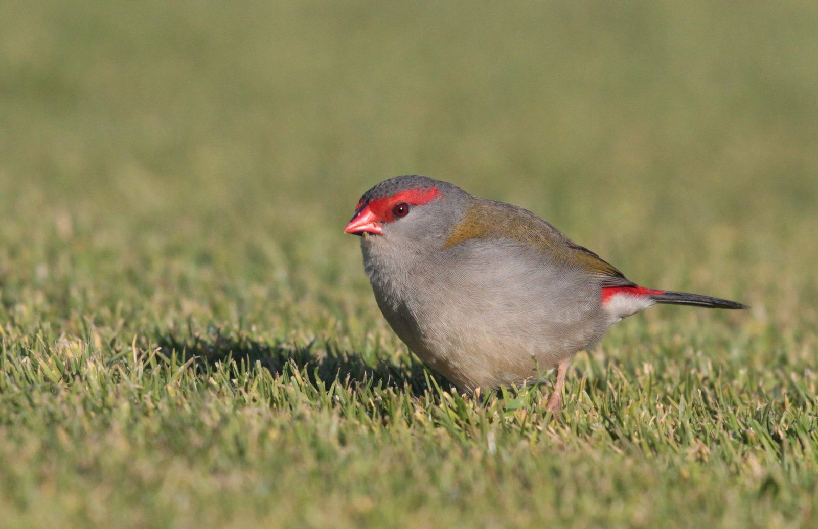 Red-browned Firetail