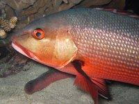 Red Bass, Lutjanus bohar