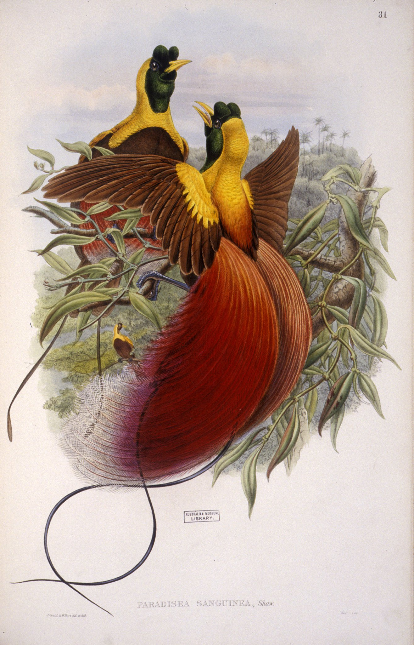 The birds of New Guinea and the adjacent Papuan islands, includi
