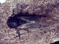 Red Eye Cicada, Psaltoda moerens